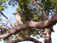 kookaburra-01
