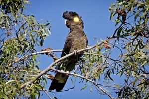 800px-Yellow-tailed_black_cockatoo